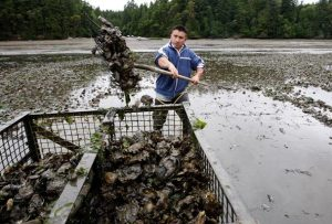 Efrain Rivera uses a pitchfork to harvest Pacific oysters at low tide at a Taylor Shellfish farm in Oyster Bay near Olympia. Such oyster farms are the earliest victims of ocean acidification as souring waters already have made it difficult for some shellfish in Washington to reproduce.