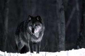In this 1987 photo released by the Michigan Department of Natural Resources, a wolf stands in the snow near Ishpeming. / Associated Press