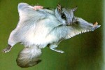 Oosthoek_flying squirrel