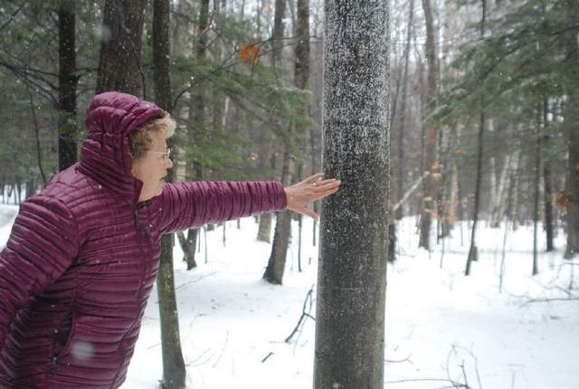 A white substance marks beech bark disease. Ann Wilderom of Harbor Springs and her husband expect they will lose all their beeches. (Photo by Morgan Sherburne/Petoskey News-Review)