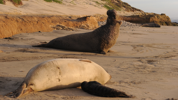 A male northern elephant seal calling near Santa Cruz, Calif. (Photo by A. Friendlaender/NMFS Permit No. 14636)