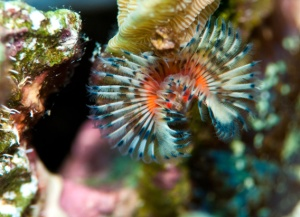 A tube worm in Carrie Bow Cay, Belize, during the 2012 spawning season (Photo courtesy of Abby Wood)