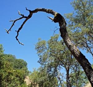 Sommer_blue oak