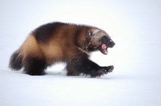 Wolverines are already one of the rarest carnivores in North America. With their fates tied to snow they may become rarer still. Photo by Steve Kroschel. Courtesy of the U.S. Fish and Wildlife Service.