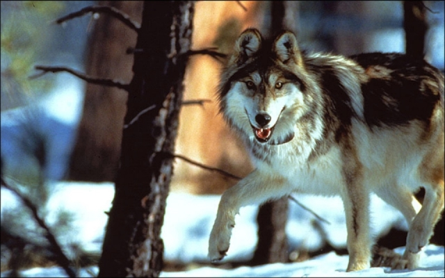 Paskus_AZFG_wolf