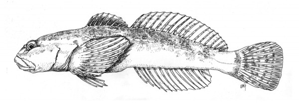 Frank_Harrington_sculpin