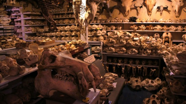 There are almost 7,000 skulls and skeletons in Bandar's San Francisco basement. (Lauren Sommer/KQED)